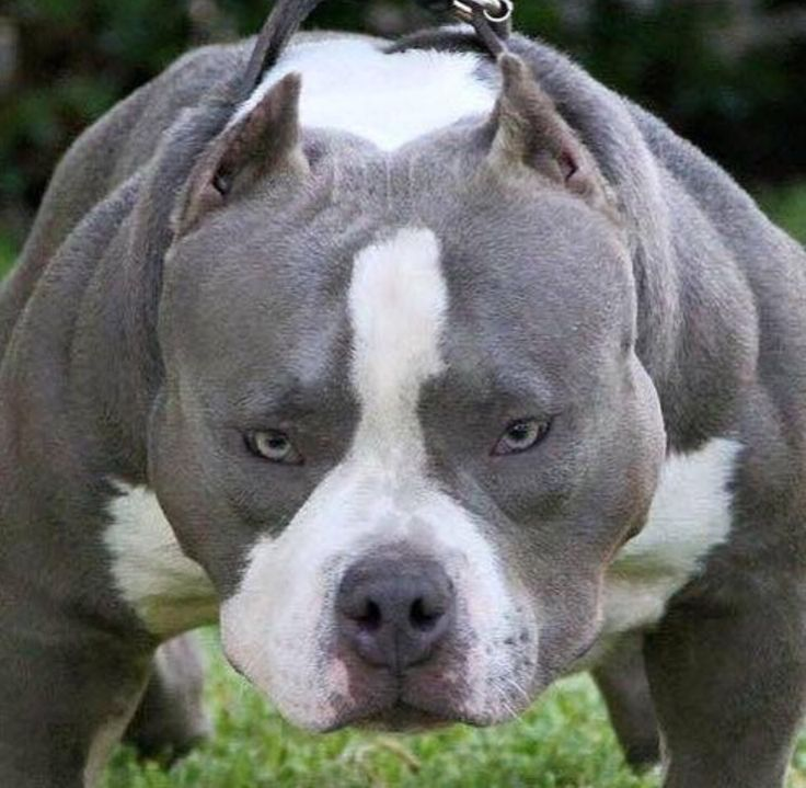 404 Best Images About Paulo Naval Pitbull On Pinterest