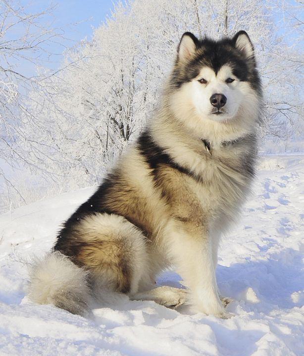 Alaskan Malamute   WOOFipedia, provided by the American Kennel Club