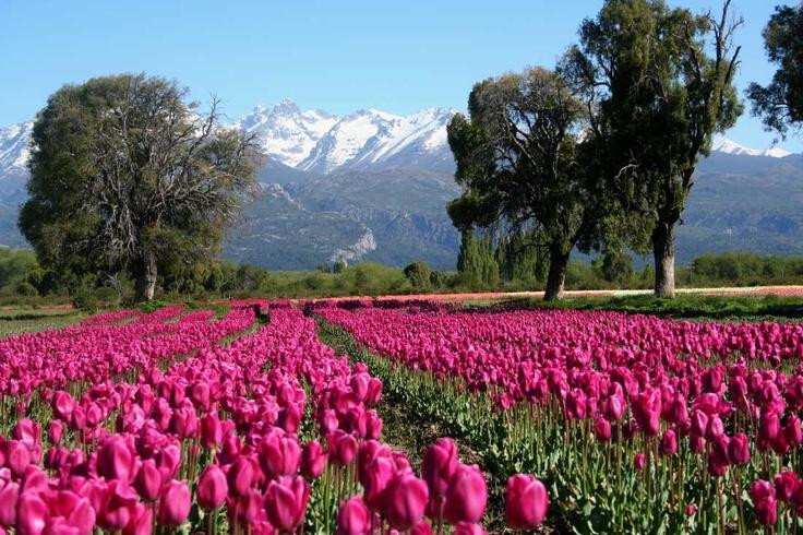 Trevelin – Futaleufú – Provincia de Chubut - Cultivo de tulipanes