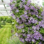 arabella-clematis-martha-stewart-best-vine-gardenista
