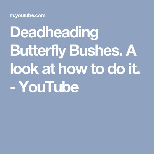 Deadheading Butterfly Bushes. A look at how to do it. - YouTube
