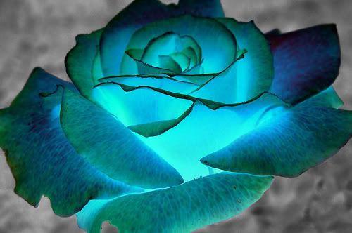 Love this blue rose!