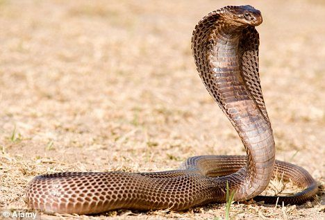 It is considered to be the largest Cobra species found in Africa and along with being Large, it's also one of the most venomous Cobra snakes species all over the world. Description from top10hm.net. I searched for this on bing.com/images