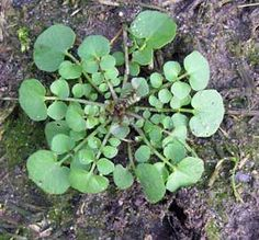 Kleine veldkers, een lekker onkruid. http://www.cruydthof.nl/blog/onkruid-in-de-moestuin/