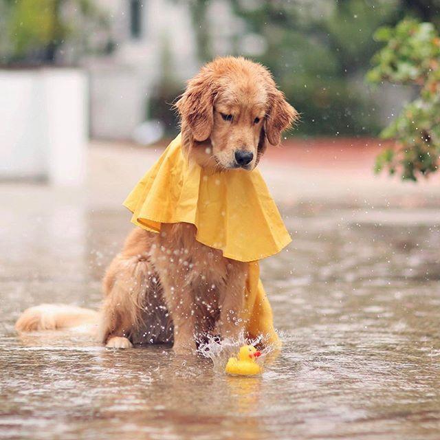 3461 Best Images About Golden Retrievers On Pinterest