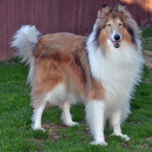 Laddie « Collie Rescue of the Carolinas