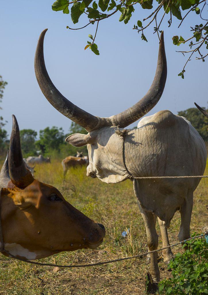 Nuer Tribe Livestock And Catlle Market, Gambela, Ethiopia | Flickr - Photo Sharing!