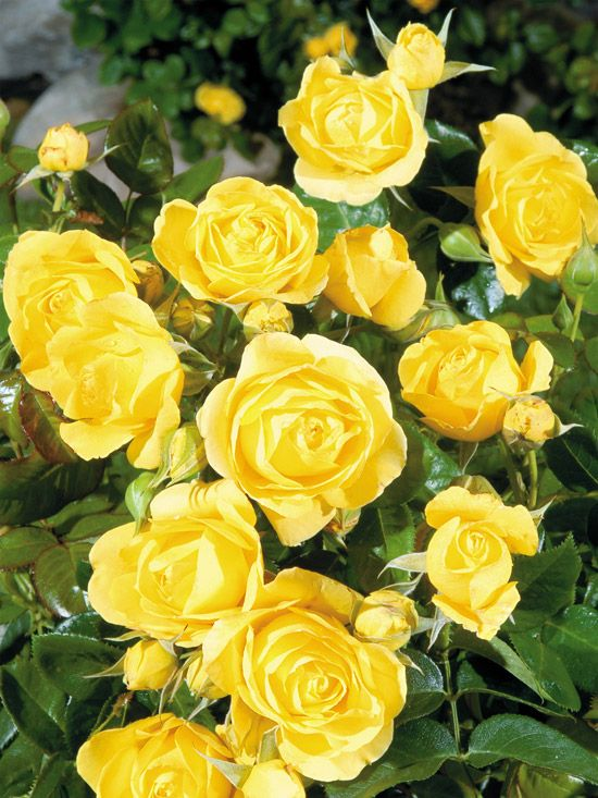 I love yellow roses. They remind me of my Gram