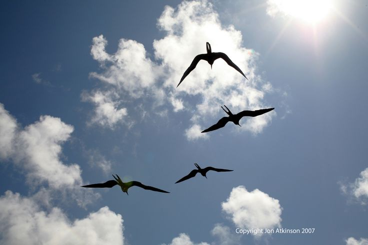 Magnificent Frigatebirds, at sea off Isla Isabella: The Magnificent Frigatebird was sometimes previously known as Man O'War, reflecting its rakish lines, speed, and aerial piracy of other birds.