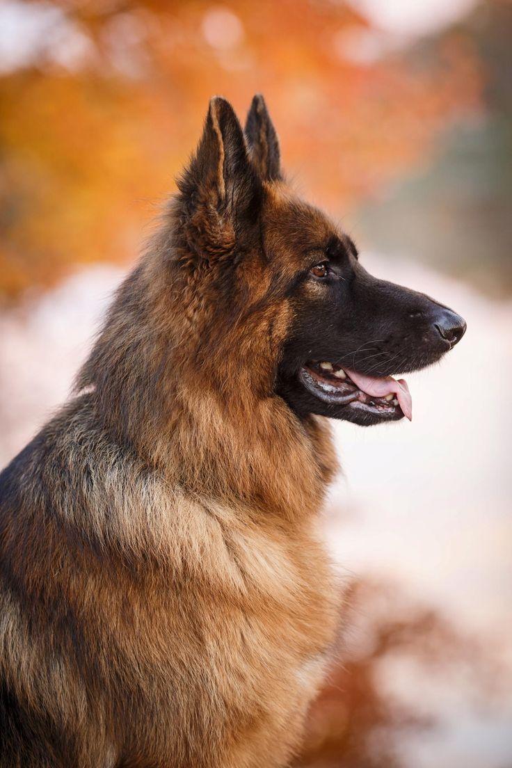 Картинка немецкая собака