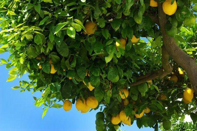 Lemon trees have glossy, evergreen foliage.
