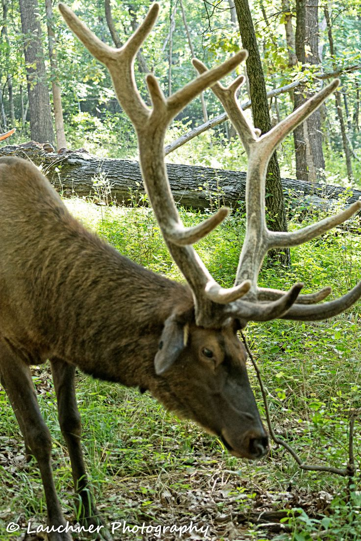Bull Elk - Bull Elk, Lone Elk State Park, St Louis County, Missouri