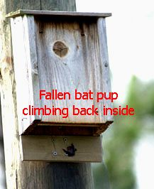 How to make a Bat House Pup Catcher. Sometimes babies fall out! :-o