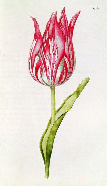 Tulip, from 'La Guirlande de Julie', c.1642 (w/c on paper) Wall Art & Canvas Prints by Nicolas Robert