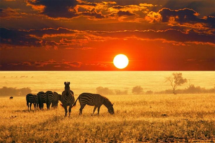 Zebras with an orange sunset