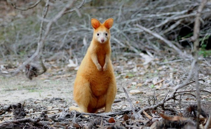 Golden Swamp Wallaby Australian Animals Wallaby Animals Of The World