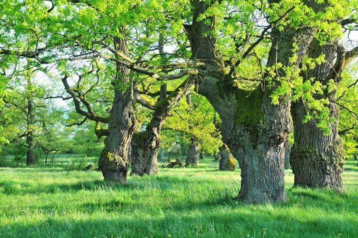 Dubový háj Gavurky: Jedinečné miesto, kde nájdete vyše 600 dubov, ktoré majú aj 400 rokov. Toto miesto už dlhšie láka aj zahraničných vedcov | interez.sk