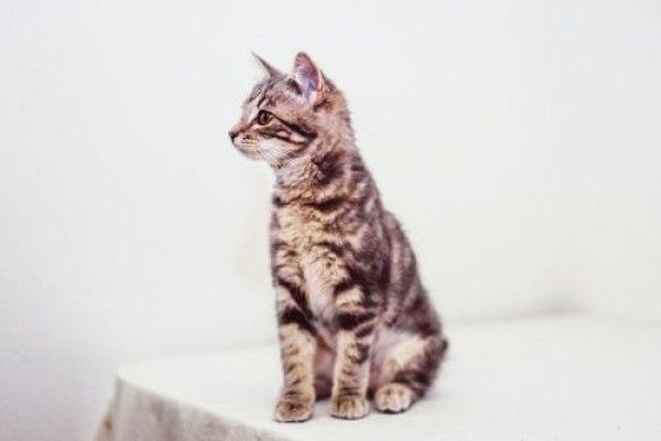 Domestic Short Hair Cat For Adoption In Denver Colorado Nellie In Denver Colorado Short Hair Cats Cat Adoption Domestic Short Hair