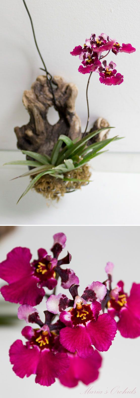"MOUNTED ORCHIDS :: Tolumnia Red Berry (have this one too) mounted on driftwood with live moss :: 3"" leaf length. Blooms: 1"" wine-colored flowers, unscented. Flower spike maturation: 11 weeks, 5 or so flowers on each spike. 