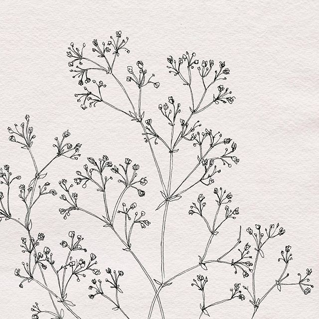 Baby S Breath Botanical Illustration By Nicnillas Ink Baby Breath Tattoo Line Drawing Tattoos Babys Breath