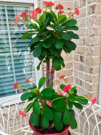 It 39 s a crown of thorns plant plants pinterest it is for Crown of thorns plant