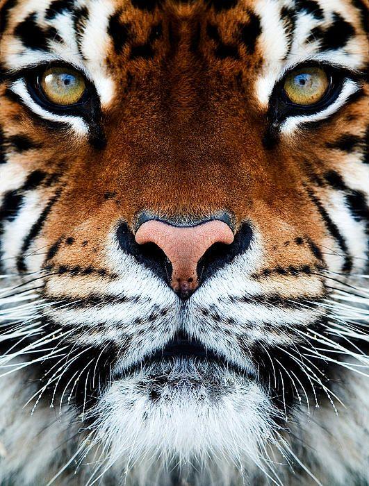 Amazing tiger.