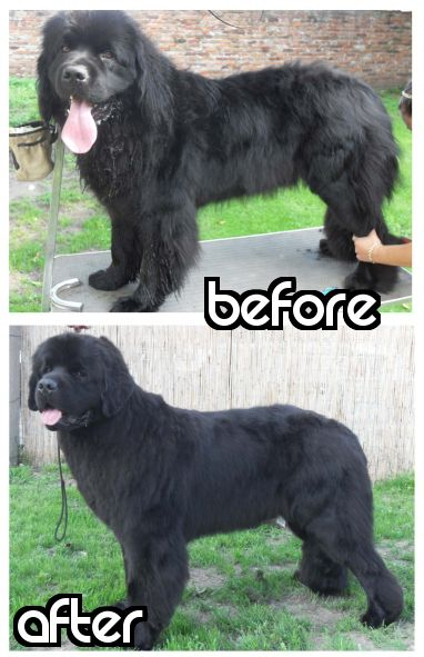 Priceless tips on how to groom and trim your Newfoundland..... Um just a curious question... How did they manage to groom his tongue shorter? anyone else notice that? lol