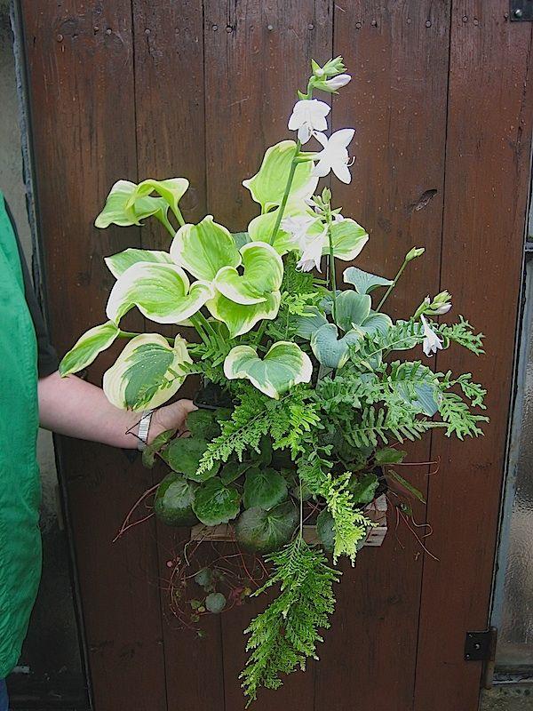 duft_hosta_7.17.jpg Duftende weisse Blüte der Hosta Sweet Innocence (60-70cm)-im 11 cm Topf  Duftende  fast weisse Blüte der Hosta Blue Flame (35 cm) - im 11cm Topf.  dazu 2 Judenbart wintergrün, ideal wenn die Hosta einziehen, dann wird auch darunter begrünt - dazu noch eine filigrane Rispenblüte in weiss. (i.9cmTopf)  der  gegabelte Tüpfelfarn (Polypodium vulgare Bifido Multifidum) ziert mit filigraner Schönheit auch als Immergrün im Winter.i. 11cmTopf -