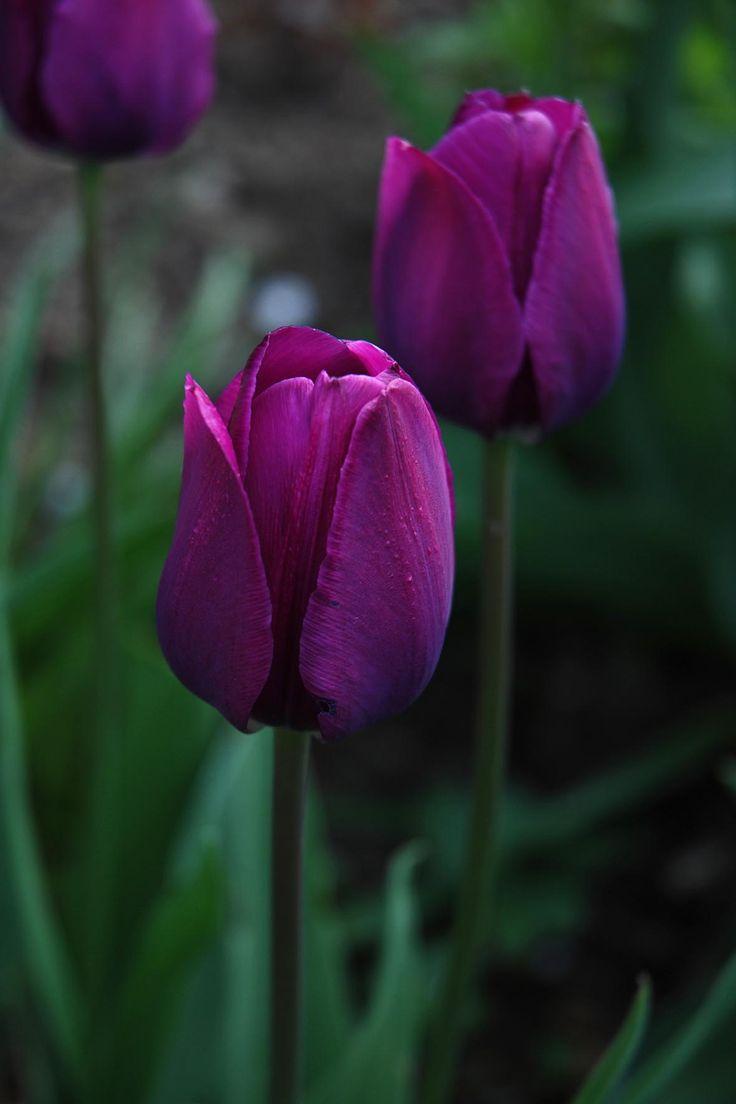 Tulpen...'Negrita' ist ein Traum!