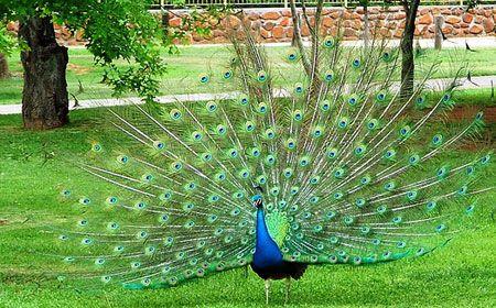 Peacock at Bloemfontein Zoo