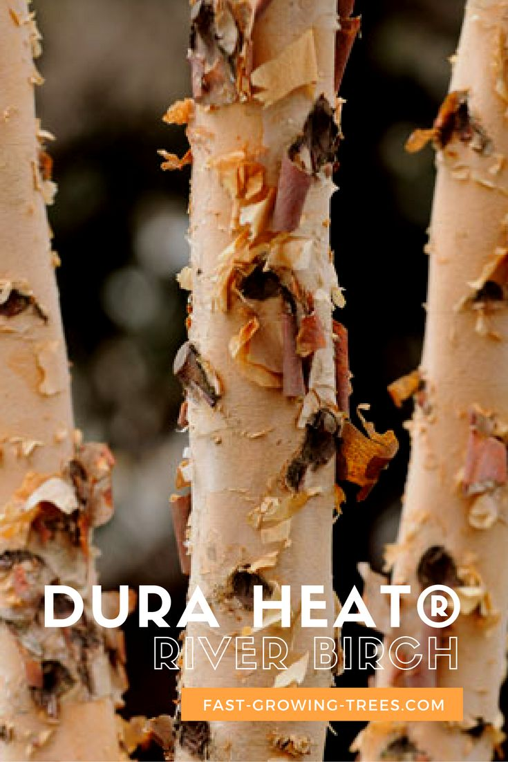This low-maintenance birch thrives in the north and the south, and invites birds and butterflies into your yard.