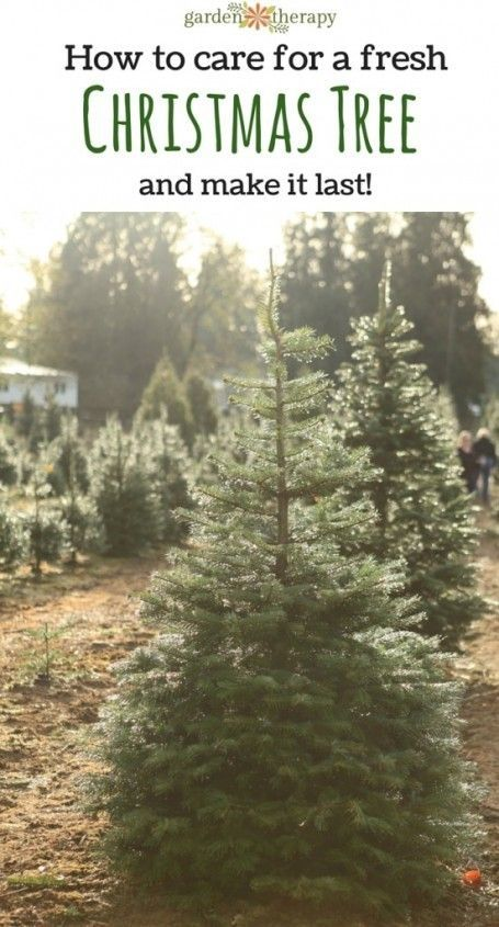 Ditch the fake tree this year and get a real one - it's so much more fun and smells amazing! How to Care for a Fresh Christmas Tree and Make it Last!