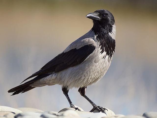 Серая ворона (Corvus cornix). Птицы Сибири. (с изображениями ...