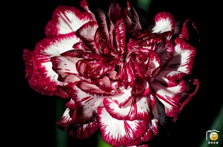 Dianthus caryophyllus by alma_vzla