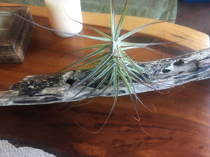 How To Water Air Plants On Wood