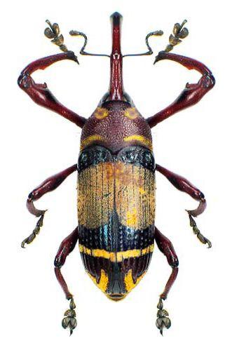 Allimetopus sp