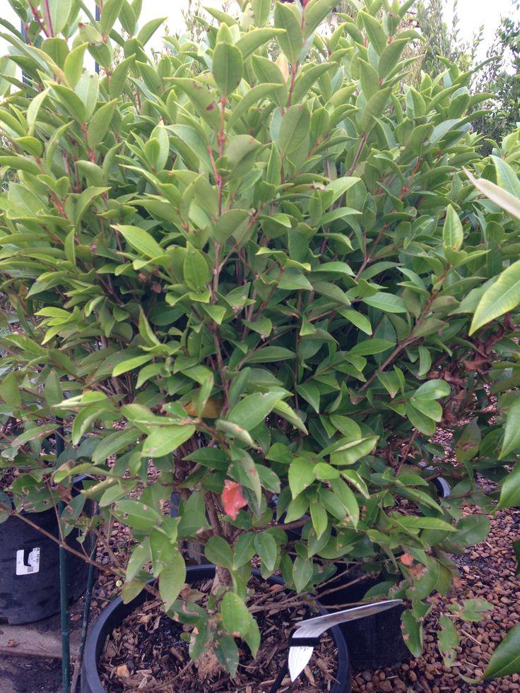 Aussie Boomer  Syzygium 300mm $60