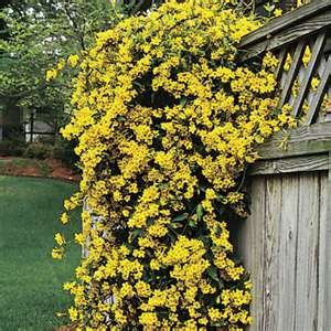 Carolina Jasmine - had this growing up our house and over our doorway in Norfolk - going to use it this spring to cover our ugly fence down here in SC :)  Can't wait!