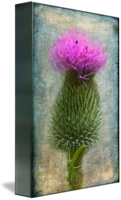 """""""Scotch Thistle"""" by Garvin Hunter,  // This is an image of a Scotch Thistle I took in the summer of 2014 using my macro lens mounted on a DSLR.  In an attempt to isolate it from its environment I blended the image with various texture.  Processing was mostly done in PS CC and Lightroom.  By isolating the thistle ... // Imagekind.com -- Buy stunning fine art prints, framed prints and canvas prints directly from independent working artists and photographers."""