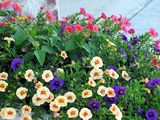 Calibrachoa - Flowering Million Bells Are Low Maintenance Petunia Look-alikes