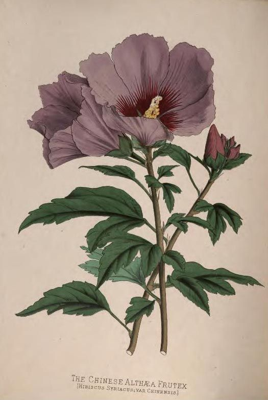 'The Chinese Althaea Frutex' taken from 'Paxton's Flower Garden' by Professor Lindley and Joseph Paxton. Published 1884 by Cassell, Petter, ...