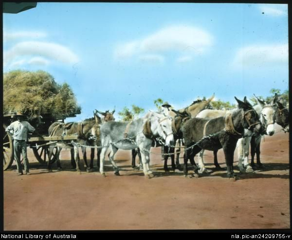 Flynn, John, 1880-1951. Team of donkeys pulling a cart loaded with spinifex [transparency] : a lantern slide used in lectures on all Austra...