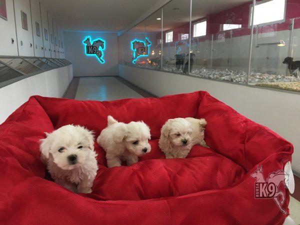 Satılık Maltese Terrier Yavruları | Club K9 Köpek Çiftliği ve Binicilik Merkezi
