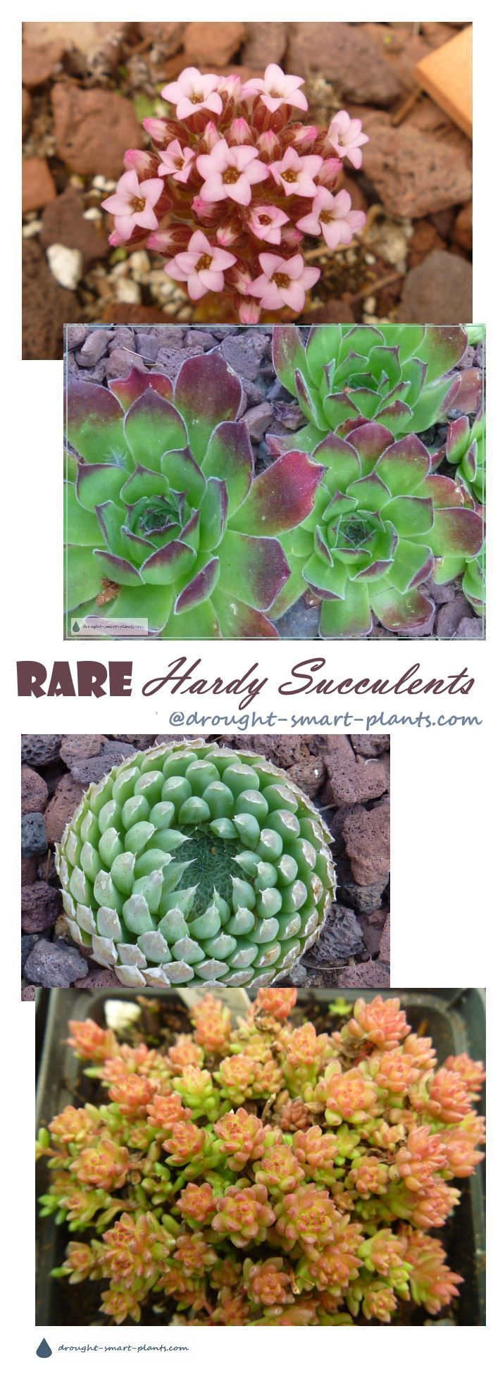 Rare Hardy Succulents - the uncommon, the unusual, the sought after