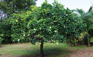 Shaping complete - how to train a young citrus and prune an established citrus tree