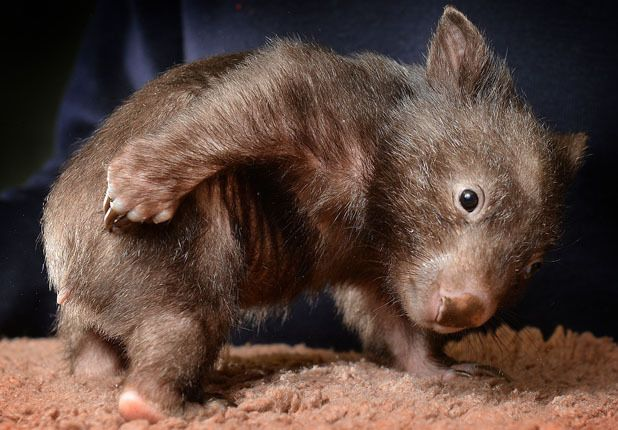 The orphaned Wombat at Healesville Sanctuary in Australia has ' Mange' which is a skin condition that means he is constantly scratching himself.