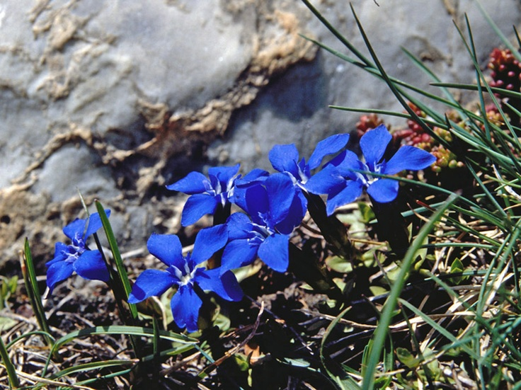 petite gentiane à Pralognan la Vanoise Alpine Pearls French Alps
