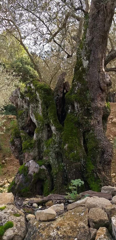 العراقة في أشجار الزيتون مرج بسري Outdoor Water Coastline