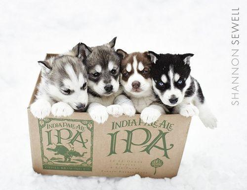 huskies!!!: Husky Puppies 3, Husky Baby, Dreams Dogs, Cutest Puppy Ever, Baby Husky, Cutest Puppies Ever, Huskies Puppies, Huskey Puppies, Future Dogs