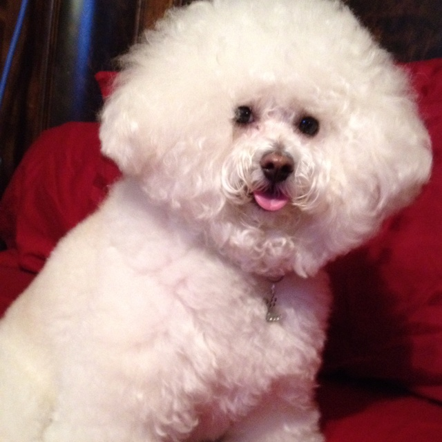 1000 images about bichon beauties on pinterest puppys